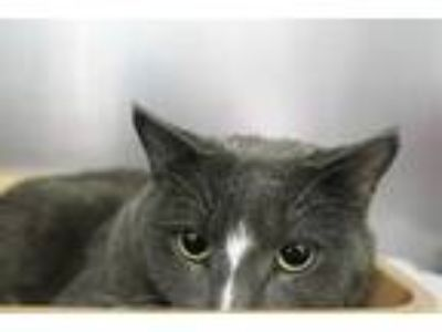 Adopt WILSON a Gray or Blue (Mostly) Domestic Shorthair / Mixed (short coat) cat