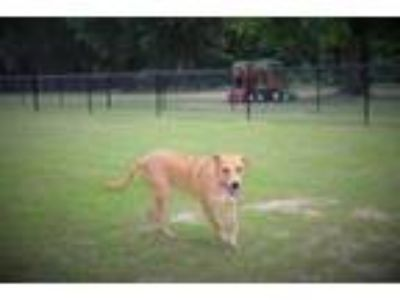 Adopt Sweetie Lonestar* a Labrador Retriever, Shepherd
