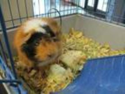Adopt Nick a Black Guinea Pig / Guinea Pig / Mixed small animal in Irving