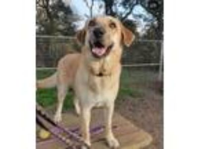 Adopt Dakota a Retriever, Labrador Retriever