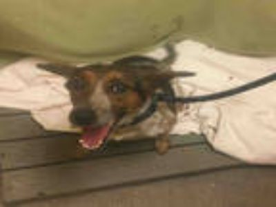 Adopt *PENNY a Tricolor (Tan/Brown & Black & White) Beagle / Mixed dog in Upper