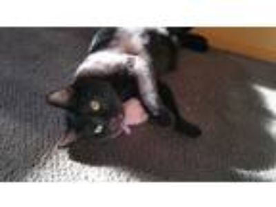 Adopt Minnie a All Black Domestic Shorthair (short coat) cat in Philadelphia