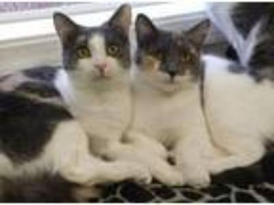 Adopt Cookie and Ladybug a Domestic Short Hair
