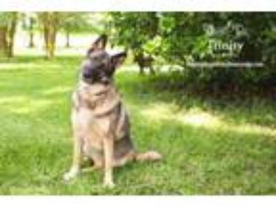 Adopt Trinity a German Shepherd Dog