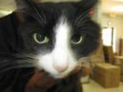 Adopt STRAY HOLD a Black & White or Tuxedo Maine Coon / Mixed (long coat) cat in