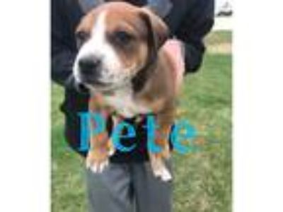 Adopt Pete a Brown/Chocolate - with Black Mixed Breed (Medium) dog in Palatine