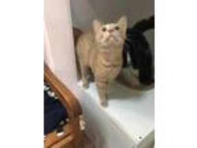Adopt Razor a Orange or Red Domestic Shorthair / Domestic Shorthair / Mixed cat
