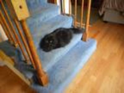 Adopt Kelsey a All Black Domestic Longhair cat in Londonderry, NH (25350643)