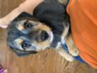 Adopt Ollie a Black - with Tan, Yellow or Fawn Terrier (Unknown Type