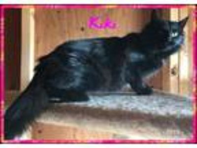 Adopt Kiki a Black (Mostly) Domestic Mediumhair (medium coat) cat in Midland