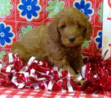 Goldendoodle (Miniature) PUPPY FOR SALE ADN-89294 - Mini Goldendoodle puppies creams goldens and black