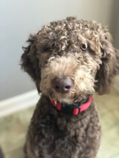 Labradoodle, house-trained, needs home
