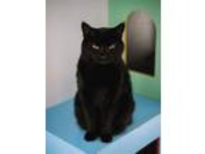 Adopt Jacoby a Domestic Medium Hair