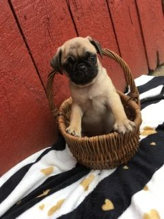 Pug PUPPY FOR SALE ADN-92834 - Pug Puppies
