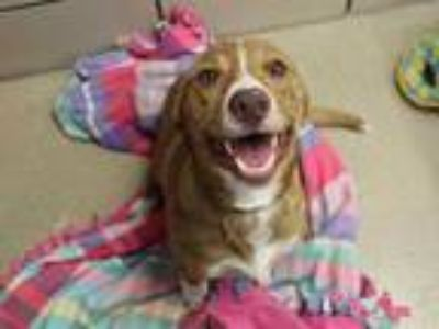 Adopt SAMMY a Red/Golden/Orange/Chestnut Beagle / Border Collie / Mixed dog in