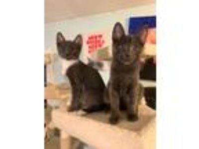 Adopt Colby & Jack a Domestic Short Hair