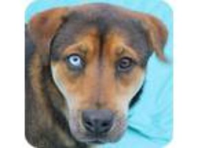 Adopt Blue Eyed Bree a Black - with Brown, Red, Golden, Orange or Chestnut Shiba