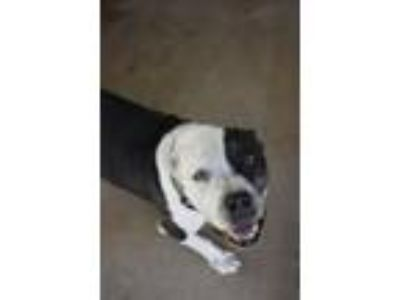 Adopt Pongo a American Staffordshire Terrier