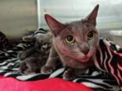 Adopt a Gray or Blue Domestic Shorthair / Mixed (short coat) cat in Tavares