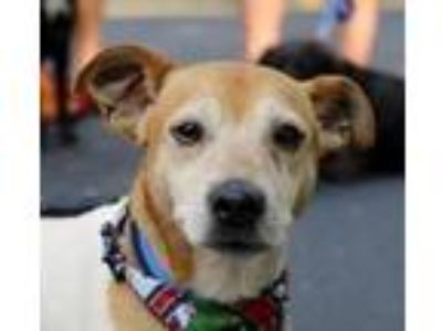 Adopt Eddie a White - with Brown or Chocolate Jack Russell Terrier / Rat Terrier