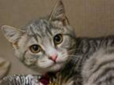 Adopt BUDDY a Gray, Blue or Silver Tabby Domestic Shorthair / Mixed (short coat)
