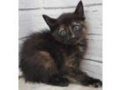 Adopt 41953407 a All Black Domestic Shorthair / Domestic Shorthair / Mixed cat