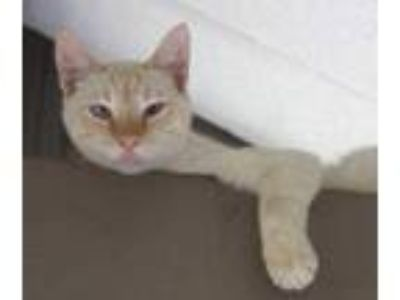Adopt Cloud a Orange or Red Domestic Shorthair / Domestic Shorthair / Mixed cat