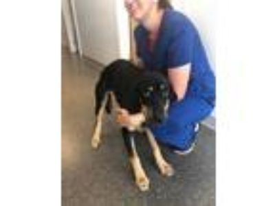 Adopt Tanner a Labrador Retriever, German Shepherd Dog