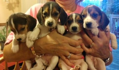 Beagle PUPPY FOR SALE ADN-93409 - MARKNCINDY