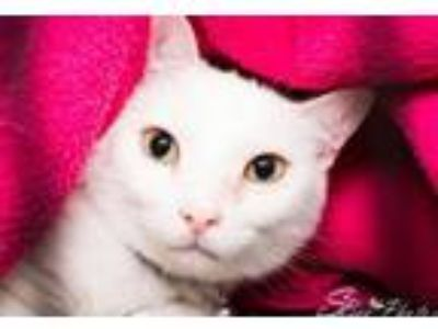 Adopt Paz a Domestic Short Hair