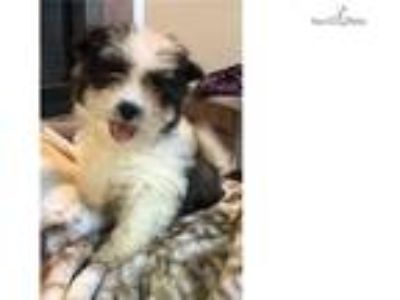 Male black and white Coton de Tulear puppy