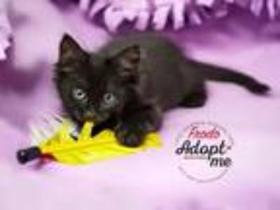 Adopt Frodo a All Black Domestic Shorthair / Mixed cat in Mooresville