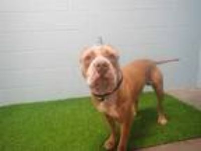 Adopt HANK a Tan/Yellow/Fawn - with White American Pit Bull Terrier / Mixed dog