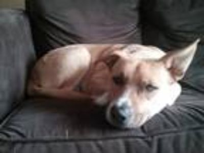 Adopt Parker a Tan/Yellow/Fawn - with White Labrador Retriever dog in