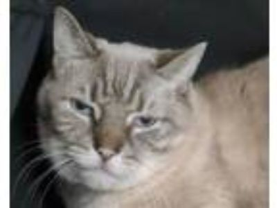 Adopt Tommy a Siamese, Domestic Short Hair