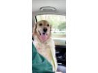 Adopt Daisy a Tan/Yellow/Fawn Golden Retriever dog in Lynchburg, VA (25486094)