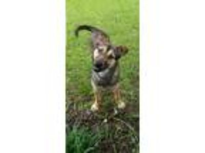 Adopt Hunky a Brown/Chocolate - with Black Shepherd (Unknown Type) / Mixed dog