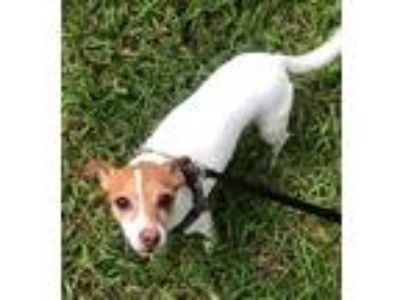 Adopt Peso in San Antonio, TX a White - with Brown or Chocolate Jack Russell