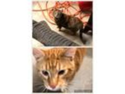Adopt Buttercup & Gabby a Orange or Red (Mostly) Calico / Mixed cat in Monroe