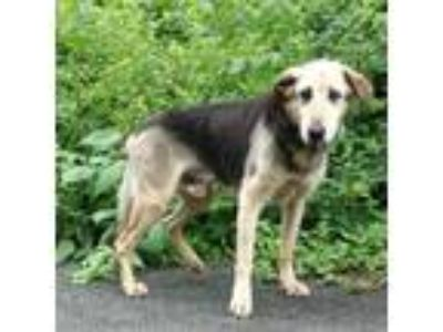 Adopt Archie a Husky / Mixed dog in Rocky Mount, VA (25547483)