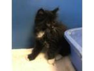 Adopt Emiwee a All Black Domestic Longhair / Domestic Shorthair / Mixed cat in
