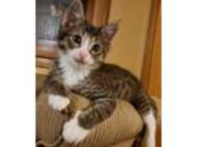 Adopt Drogon a Brown or Chocolate Domestic Shorthair / Domestic Shorthair /