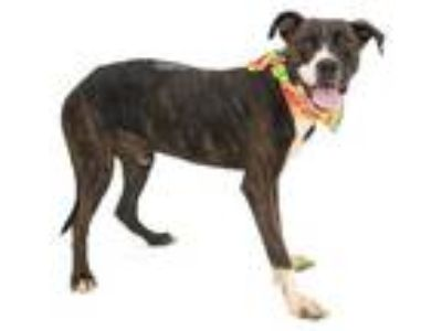 Adopt ROCKSRUFF a Brindle - with White American Pit Bull Terrier / Mixed dog in