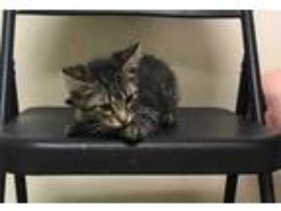 Adopt FRANK a Gray or Blue Domestic Mediumhair / Domestic Shorthair / Mixed cat