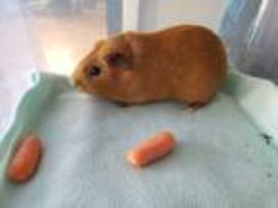 Adopt Teddy a Orange Guinea Pig (short coat) small animal in Harleysville