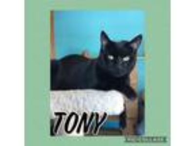 Adopt Tony a Domestic Short Hair