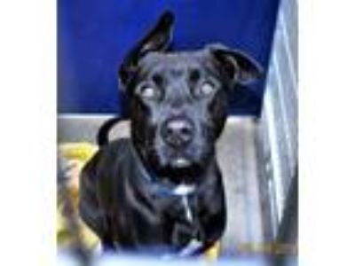 Adopt Hs229175 / Wally a Labrador Retriever, Pit Bull Terrier