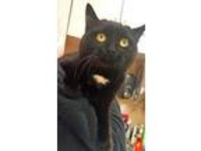 Adopt Fezziwig a All Black Domestic Shorthair / Domestic Shorthair / Mixed cat
