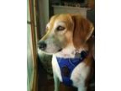 Adopt Lily Bean - Good with cats! a Beagle