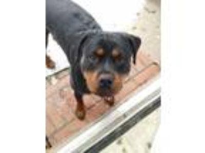 Adopt Roxie Beautiful Sweet Wonderful Girl a Rottweiler / Mixed dog in Rowayton